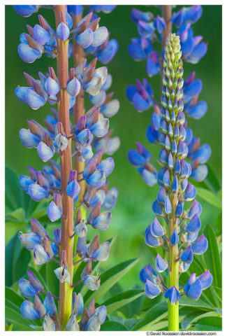 Lupine, Sammamish, King County, Washington State, Spring 2015