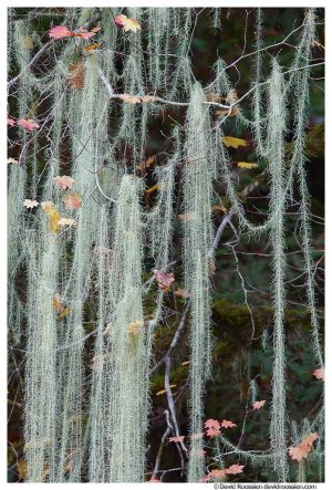 Stringy Moss, Dosewallips River, Brinnon, Olympic National Park, Washington State, Winter 2015