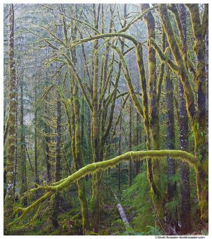 Winter Green, Skokomish Forest, Olympic Mountains, Washington State, Winter 2016