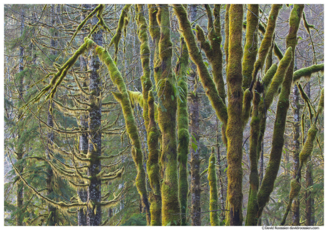 Skokomish Forest, Olympic Mountains, Washington State, Winter 2016