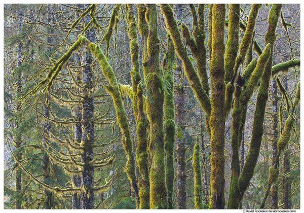 Skokomish Forest, Olympic Mountains, Washington State, Winter 2016