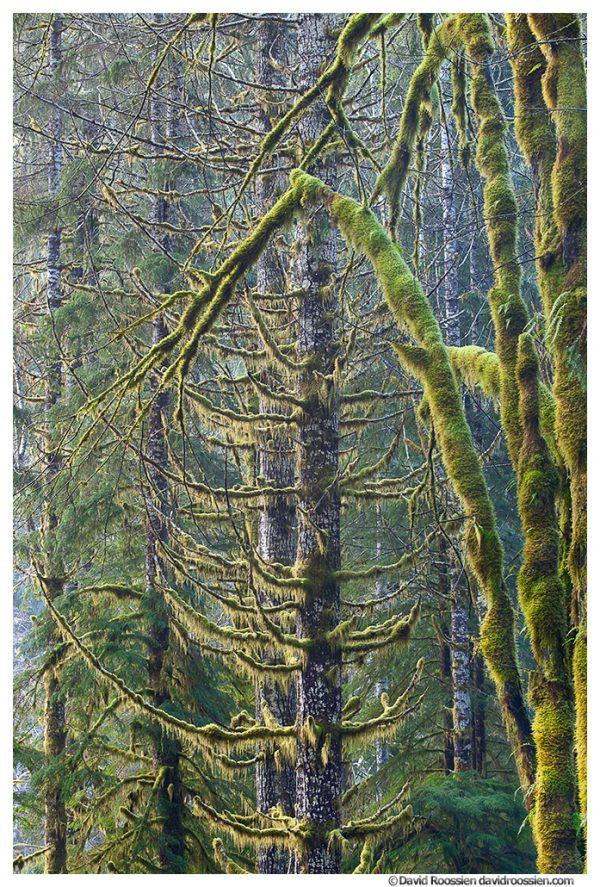Mossy Growth, Skokomish Forest, Olympic Mountains, Washington State, Winter 2016