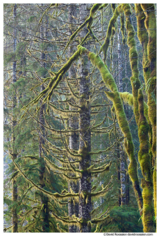 Mossy Growth, Skokomish Forest, Olympic Mountains, Washington State, Winter 2016
