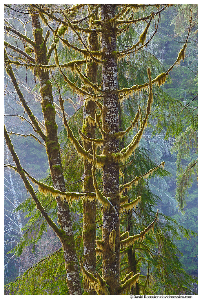 Uplifted Branches, Skokomish Forest, Olympic Mountains, Washington State, Winter 2016
