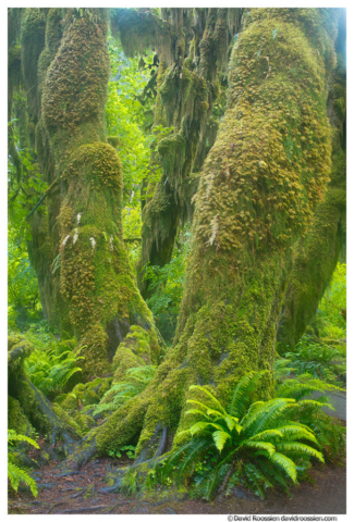 Fern and Moss, Hoh Rain Forest, Olympic National Park, Washington State, Spring 2016