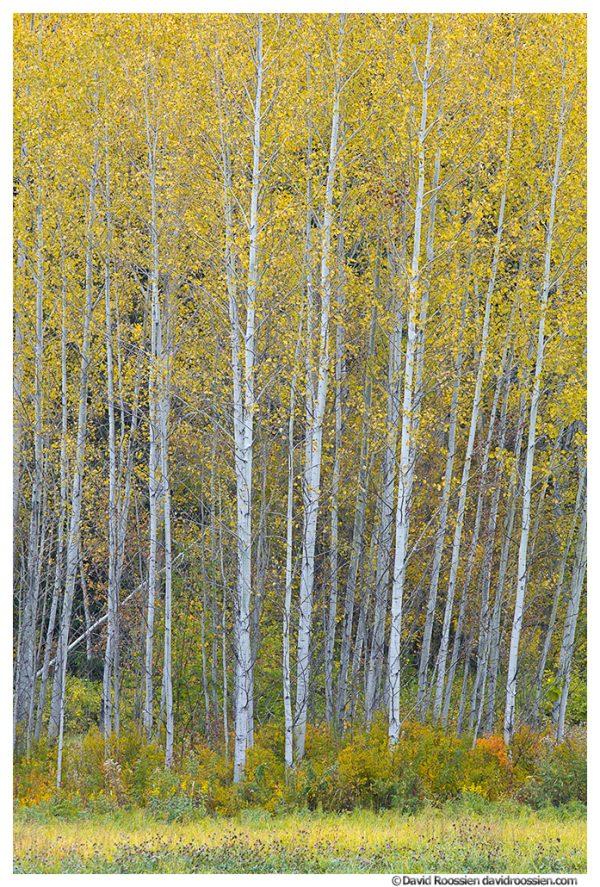 Fallen Sapling, Stevens Pass, Washington State, Fall, 2016