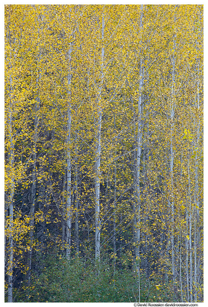 Colony of Aspens. Stevens Pass. Washington State, Fall 2016