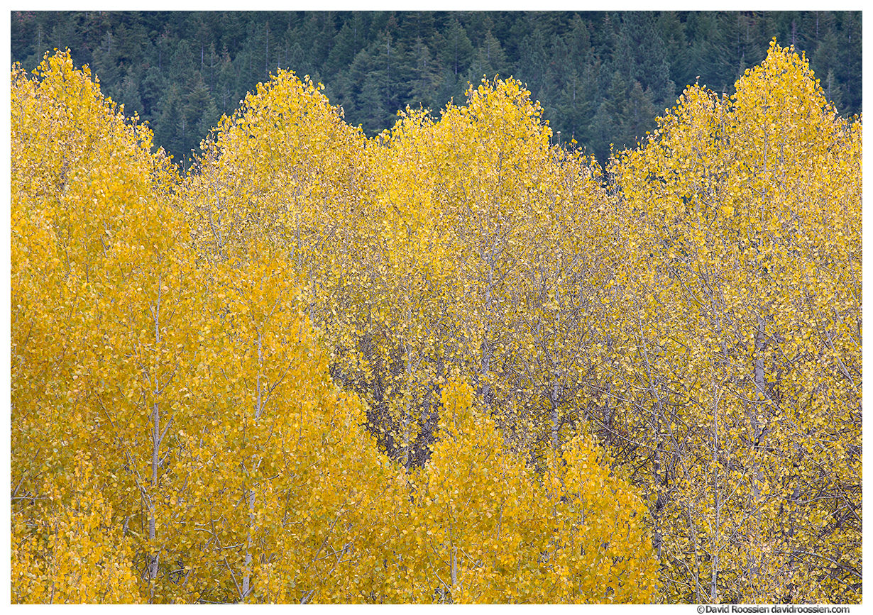Wavy Aspens, Stevens Pass. Washington State, Fall 2016