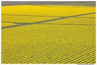 Daffodil Farm Symmetry, Skagit Valley, Washington State, Spring 2017