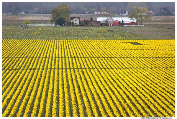 Daffodil Farm, Mount Vernon, Washington State, Spring 2017