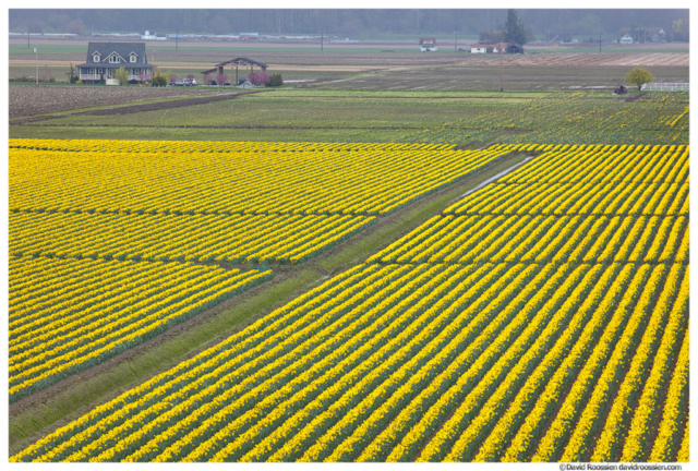 Daffodil Farm, Skagit Valley, Washington State, Spring 2017