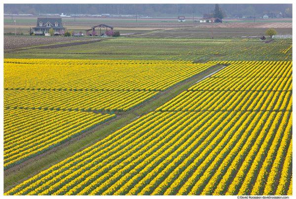 Daffodil Farm, Skagit Valley, Washington State, Spring 2017