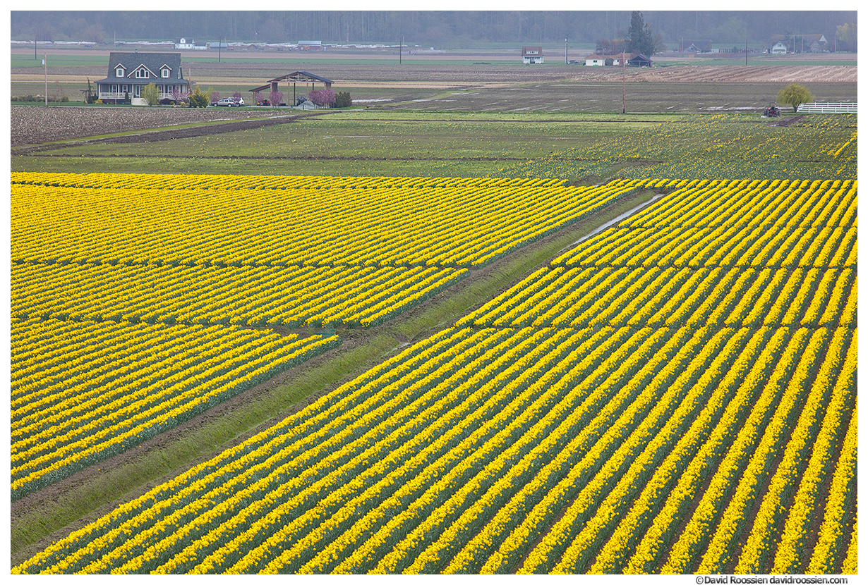 Daffodil Farm Mount Vernon Washington State Spring 2017