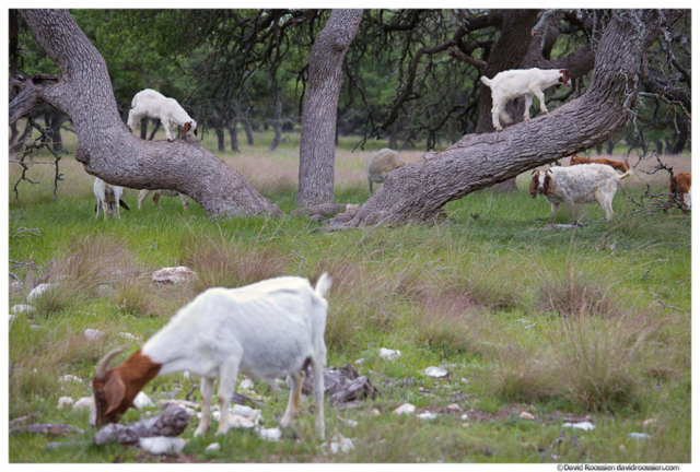 Kid Goats in a Tree, Texas Hill Country