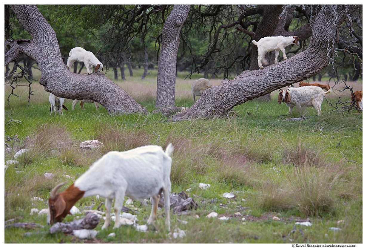 Two Goats in a Tree, Texas Hill Country, Spring 2017