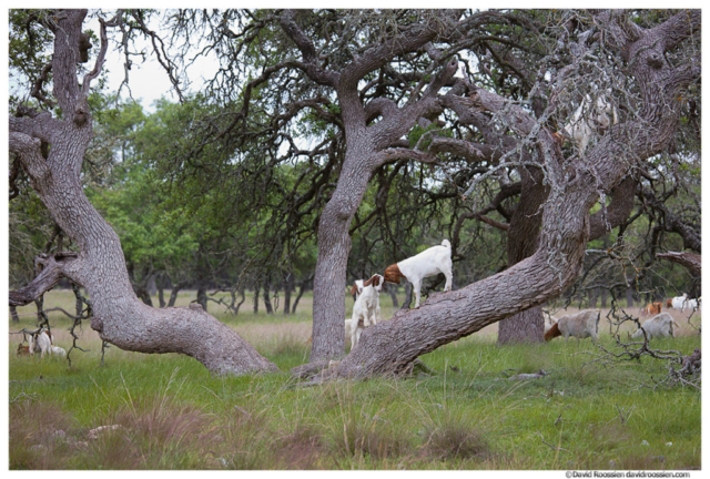 Two Young Goats Banging Heads In a Tree, Texas Hill Country, Spring 2017