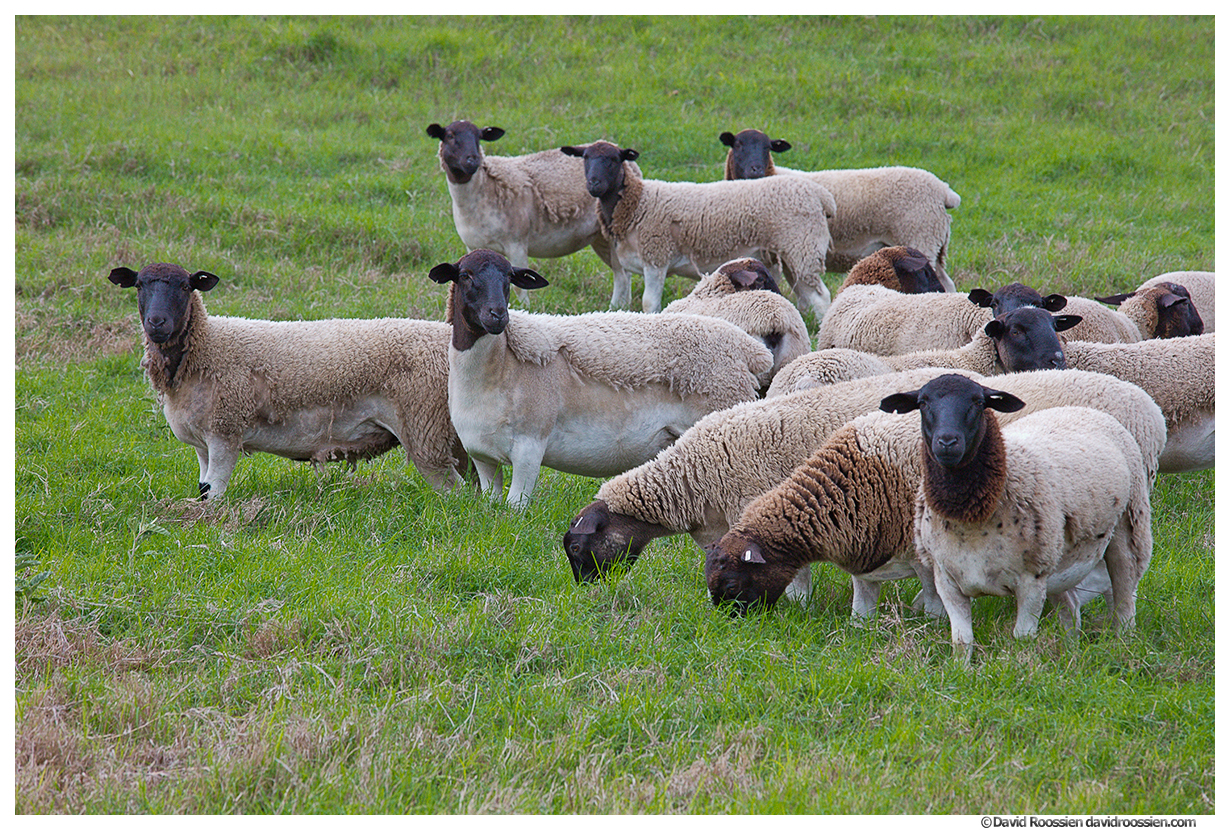 Texas Hill Country Sheep
