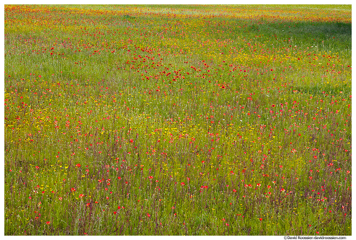 Firewheels, Paintbrush and Blackeyed Susans, Wildflowers, Texas Hill Country Near Lake Marble Falls, Texas, Spring 2017