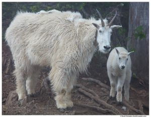 Mountain Goat Nanny & Kid, Mount Ellinor, Olympic National Park, Hoodsport, Washington, Summer 2017