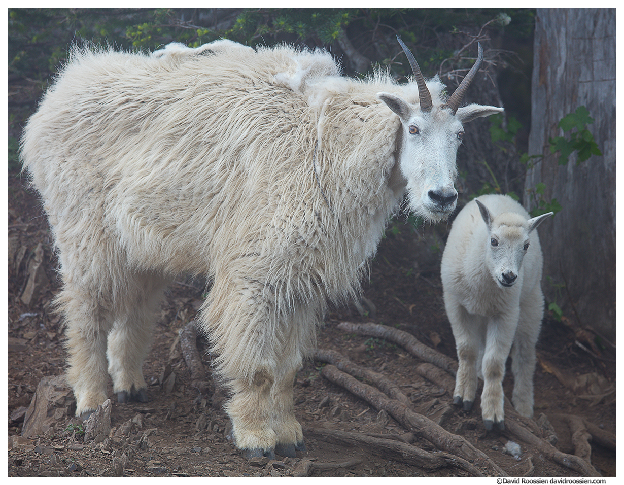 Mountain Goat Nanny & Kid, Mount Ellinor, Olympic National Park, Hoodsport, Washington, Summer 2017