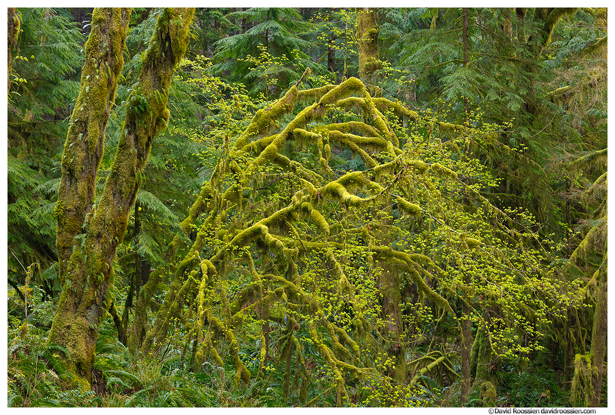 Mossy Middle Fork Snoqualmie Forest, Snoqualmie Region, Washington State