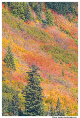 Mountain Heather, Fall Colors, Stevens Pass, Washington State