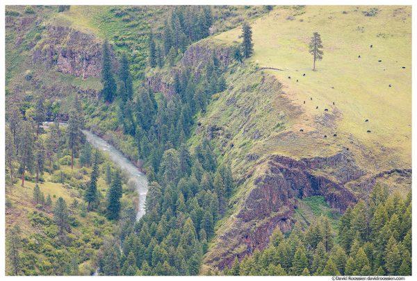 Grazing Cows, Joseph Creek Overlook, Paradise, Oregon, Spring 2017