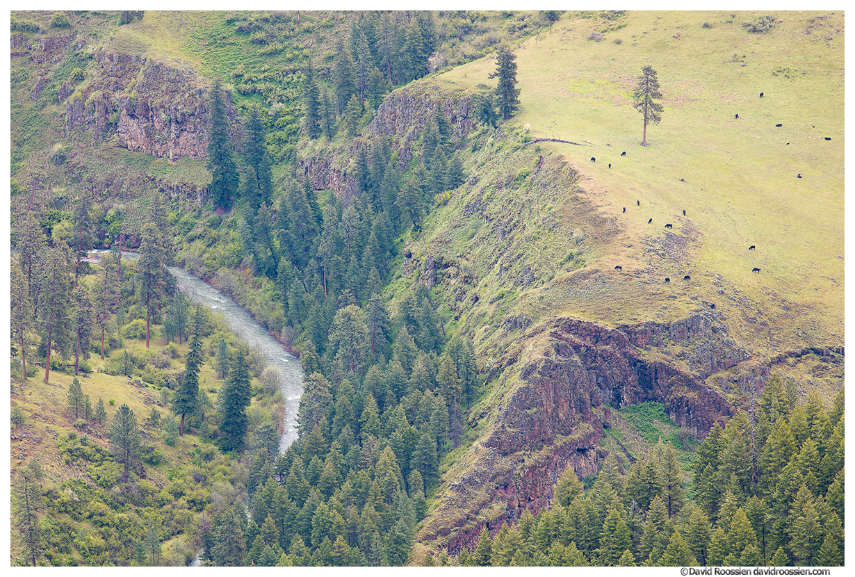 Grazing Cows, Joseph Canyon and Creek, Paradise, Oregon, Spring 2017