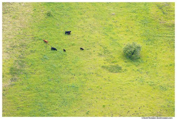Three Cows, Three Calves, Grande Ronde River, Washington Oregon Border