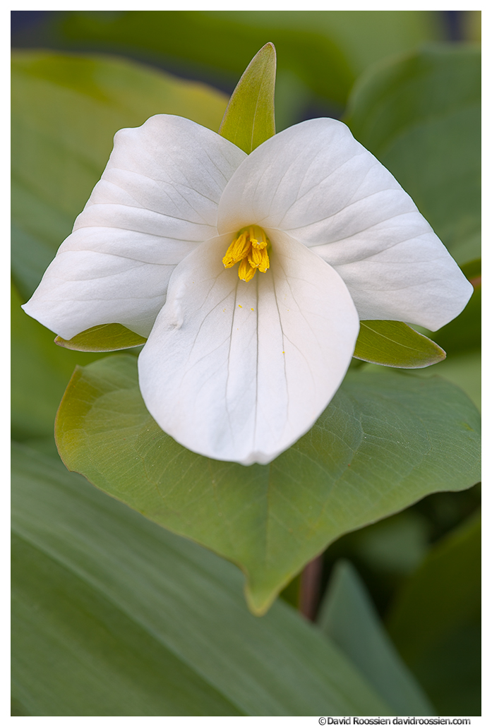 Trillium, Aman Park, Ottawa County, Michigan