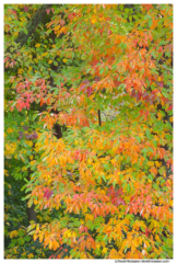Sassafras Leaves in Fall, Walker, Michigan
