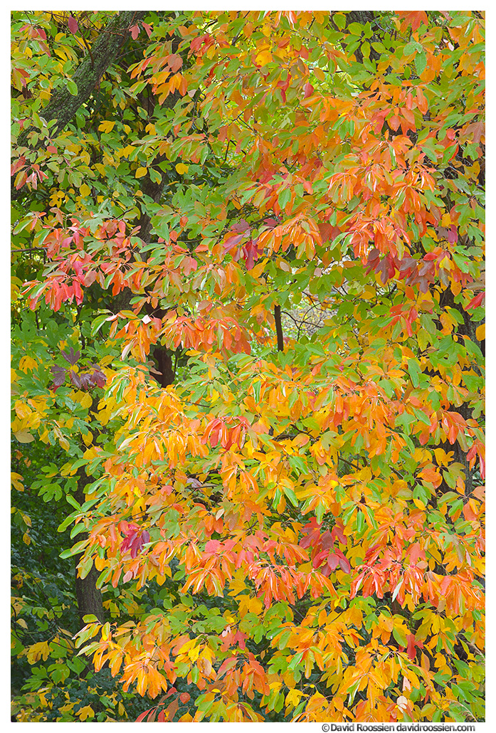 Sassafras Leaves in Fall, Walker, Michigan