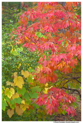 Sassafras Leaves and Grapes in Fall, Walker, Michigan