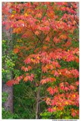 Young Sassafras Tree in Fall, Walker, Michigan