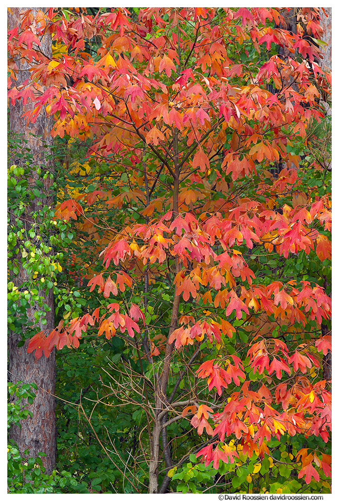 Young Sassafras Tree in Fall, Walker, Michigan