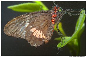 Transandean Pink Cattleheart, Butterfly World, Coconut Creek, Florida