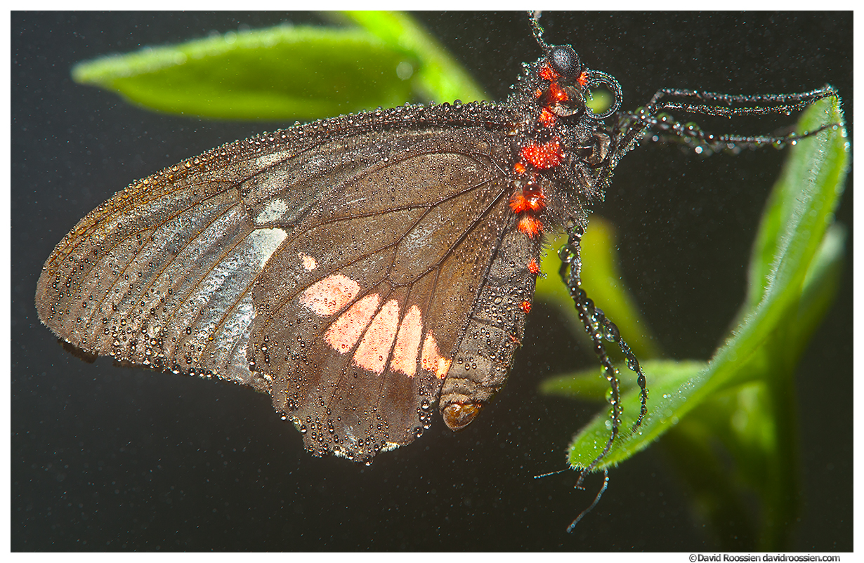 Transandean Pink Cattleheart, Butterfly World, Coconut Creek, Florida