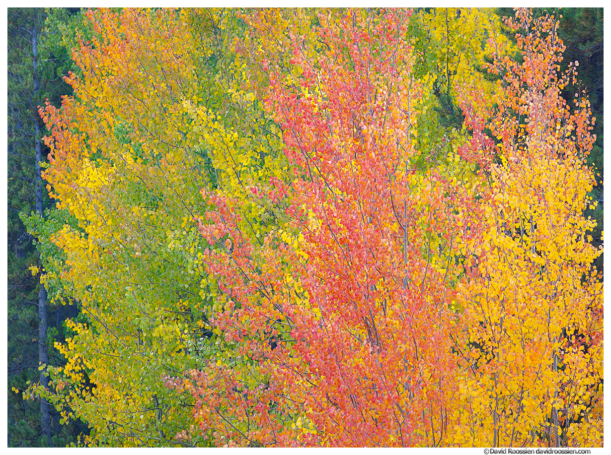 Red, Yellow, Green Aspen in Fall, Nederland Fall Colors, Nederland, Colorado