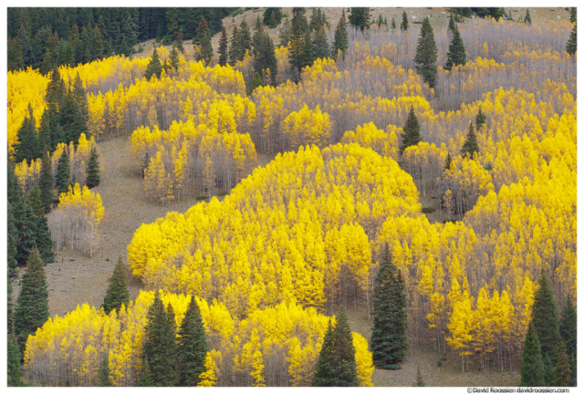 Missouri Hill Aspen and Pine, Leadville, Colorado