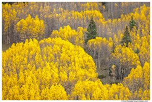 Missouri Hill Aspens, Leadville, Colorado