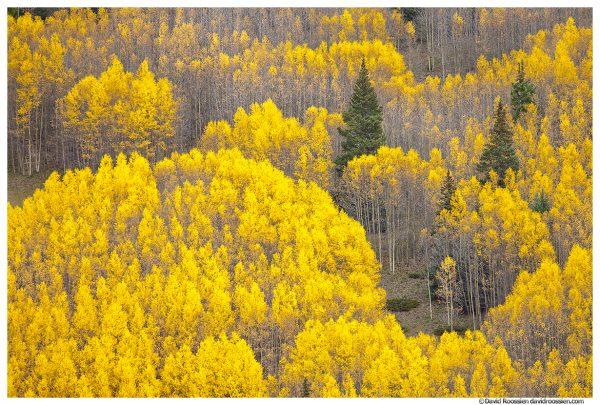 Missouri Hill Aspens, Leadville, Colorado