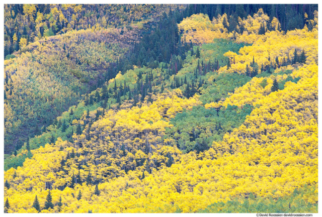 Green and Gold Aspens, Aspen, Colorado