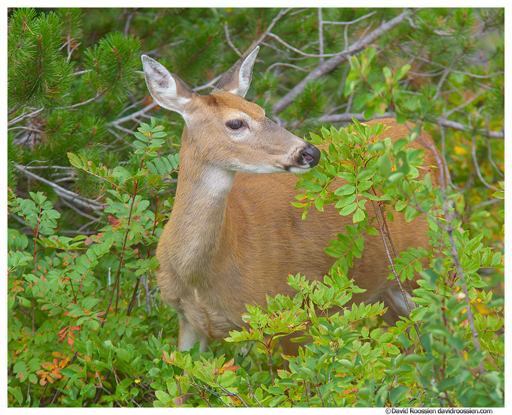 Deer, Many Glacier, Glacier National Park, Montana