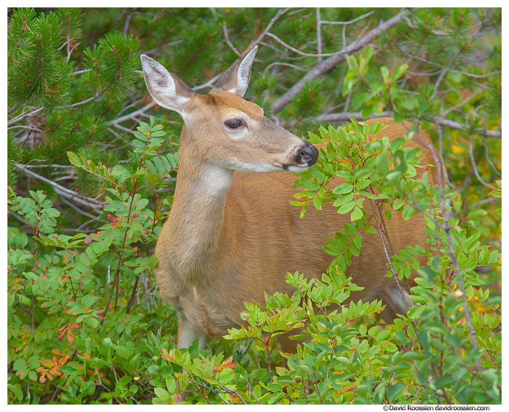 Deer, Many Glacier, Glacier National Park, Montana