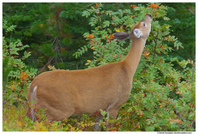 Deer Stretching, Many Glacier, Glacier National Park, Montana