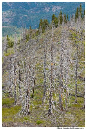 Scorched Table Mountain Trees, Liberty, Washington State