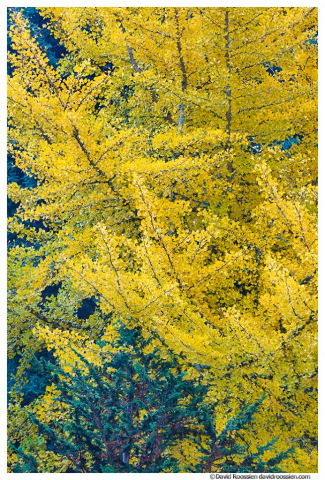 Gingko Tree Kubota Garden, Renton, Washington State