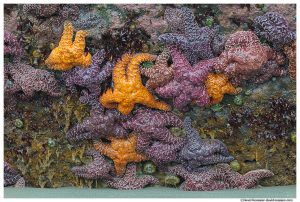 Cluster of Starfish, Ruby Beach, Olympic National Park