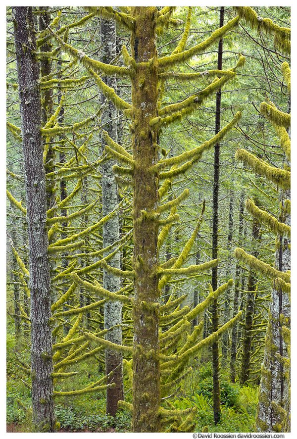 Dark Sapling, Capitol State Forest, Washington State