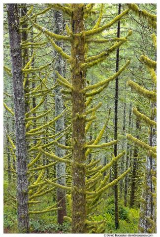 Dark Sapling, Capitol State Forest, Washington State